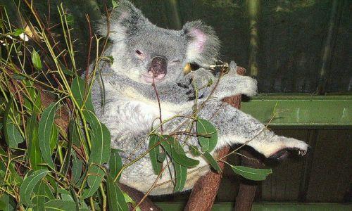 Zdjecie AUSTRALIA / pld.- Australia / Lone Pine Sanctury / on już ma dosyć!