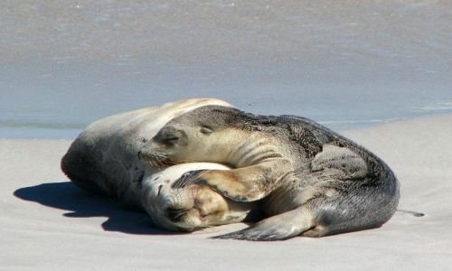 Zdjecie AUSTRALIA / South Australia / Kangaroo Island / Uchatki australijskie na Seal Bay