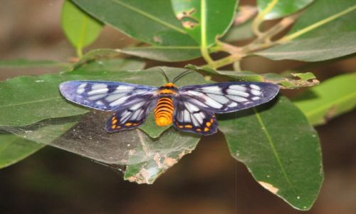 Zdjecie AUSTRALIA / Park Kakadu / Okolice Darwin / motyl