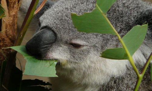 Zdjecie AUSTRALIA / - / Newcastle / koala