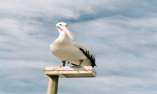 Zdjęcie AUSTRALIA / Gold Coast / plaża / Pelikan