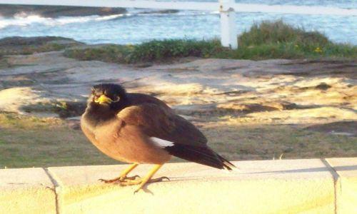 AUSTRALIA / NSW / Coogee / Żółtoziobek