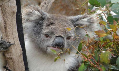 Zdjęcie AUSTRALIA / Australia Zachodnia / Yanchip NP / Inny koala