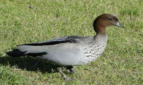 Zdjęcie AUSTRALIA / Australia Zachodnia / Yanchip NP / No i kaczka