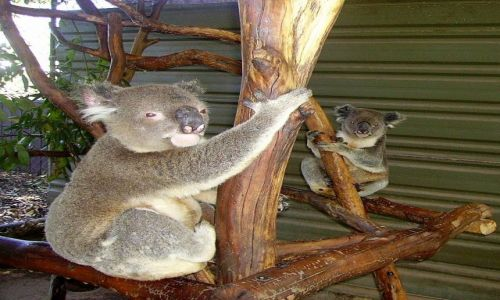 Zdjecie AUSTRALIA / południowa Australia / okolice Brisbane / w Lone Pine Sanctuary