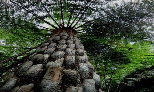 Zdjecie AUSTRALIA / NSW / Katoomba / drzewiasta paproć