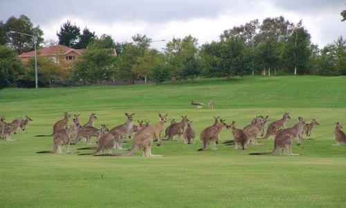 Zdjecie AUSTRALIA / Central Teryt / Cambera / kangaroo