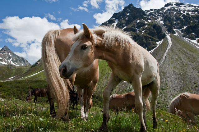 Zdjęcia: Alpy, Alpejskie konie, AUSTRIA