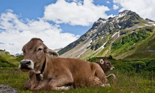 Zdjecie AUSTRIA / - / Alpy Austrijackie / Krówka z Silvretty