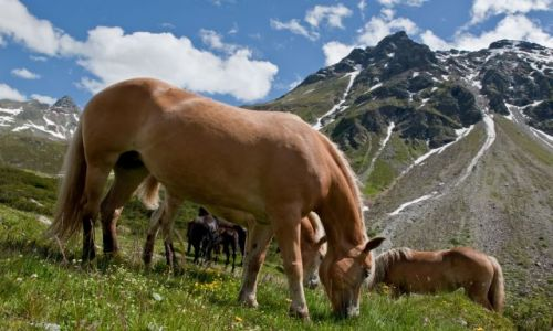 Zdjecie AUSTRIA / - / Alpy / Alpejskie konie