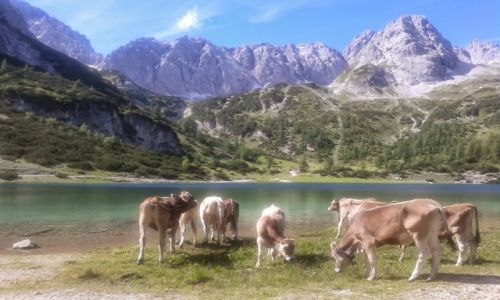 Zdjecie AUSTRIA / okolice Zugspitze / Hinterer Tajakopf / Krowy