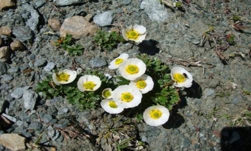 Zdjecie AUSTRIA / Alpy Centralne / Taury Wysokie / Alpejskie kwiat
