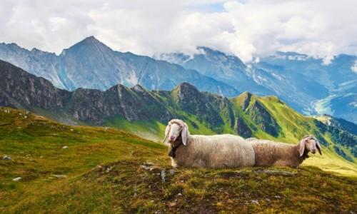 Zdjecie AUSTRIA / Zilertal / Hinter Tux / owieczki