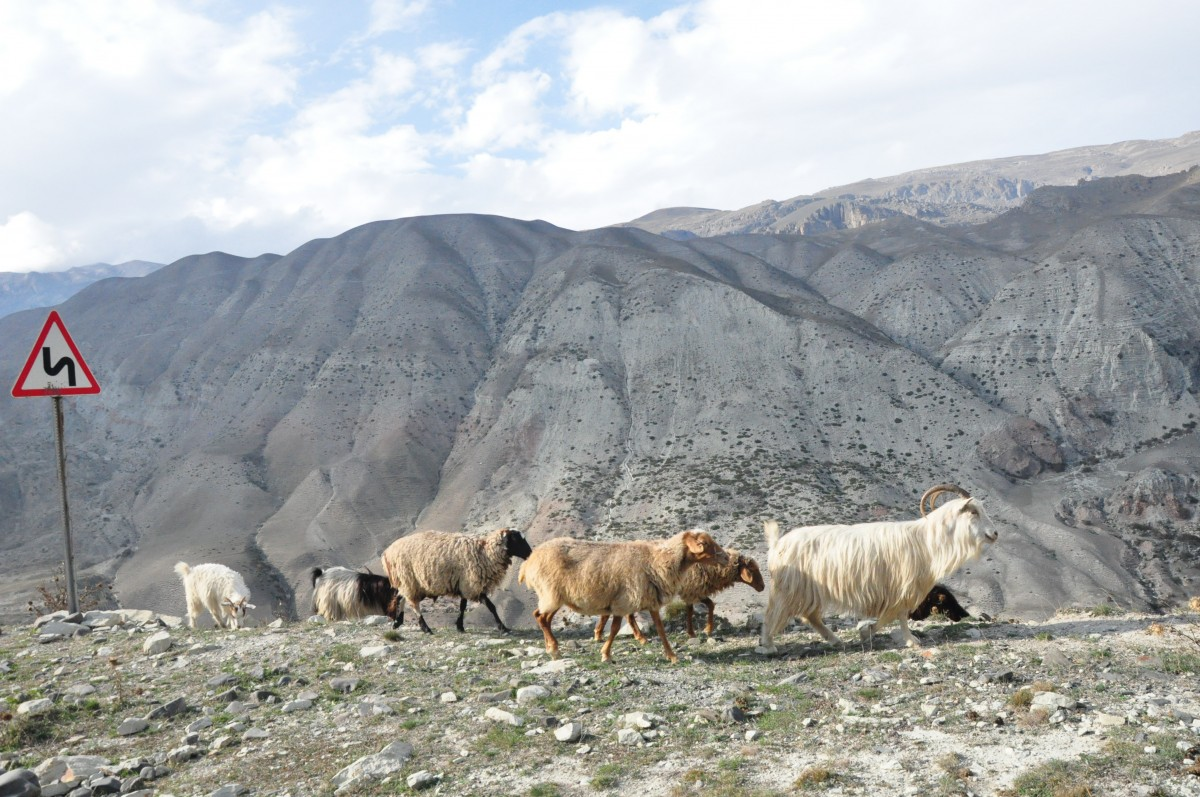 Zdjęcia: Xinaliq, Xinaliq, Przodownik stada, AZERBEJDżAN