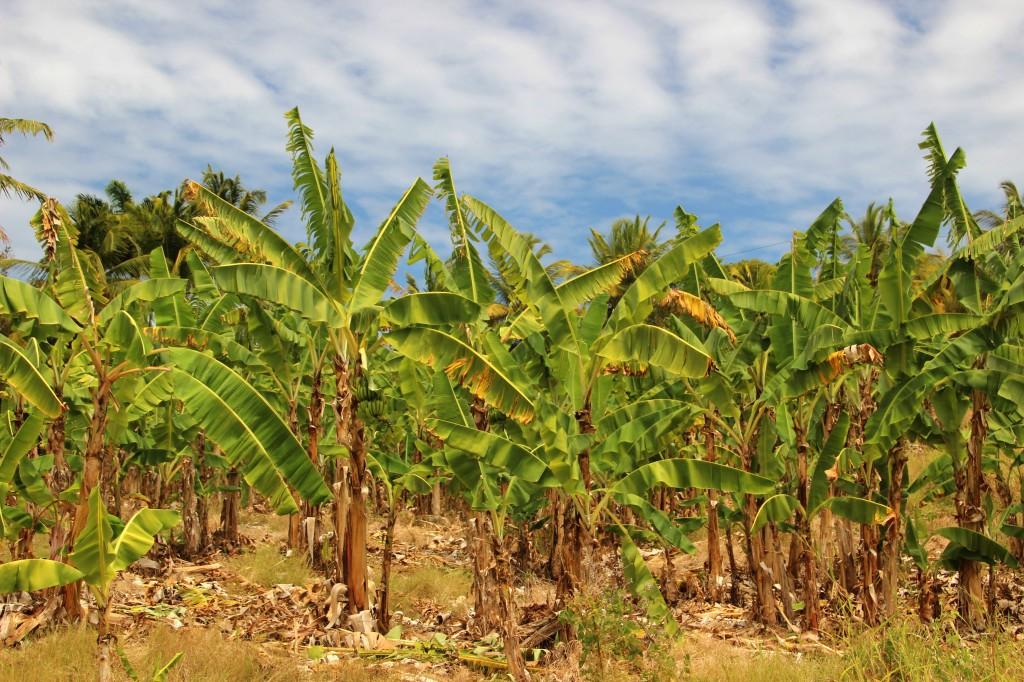 Zdjęcia: ., Bananowe pole, BARBADOS