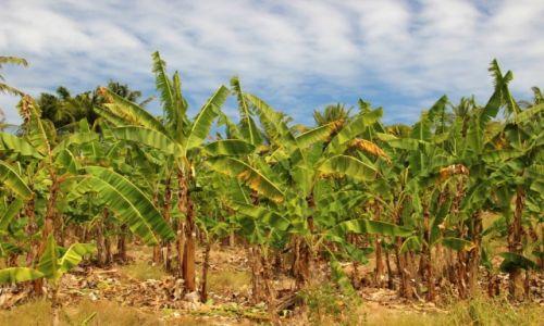 Zdjecie BARBADOS / - / . / Bananowe pole