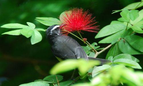 Zdjęcie BARBADOS / Karaiby / Batksheba Park / Kwiatek z PTASZKIEM dla...barbi