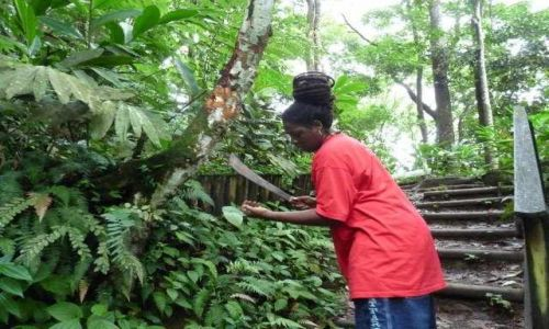 Zdjęcie BARBADOS / - / Martinica Karaiby / drzewo cynamonowe  (las deszczowy)