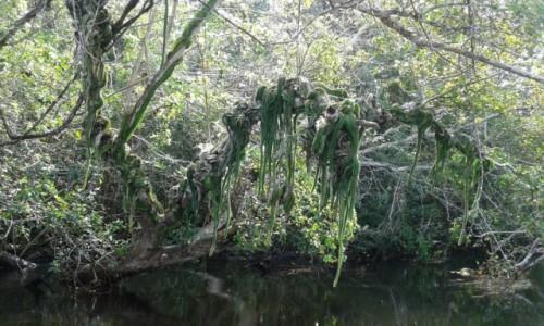 Zdjecie BELIZE / - / New River / W drodze do ukrytych w dżungli  ruin Lamanai - Rejs łodziami po New River