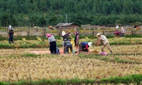 BHUTAN / Bumthang / W drodze do Kurjey Lhakhang / Prace przy zbiorze ryżu