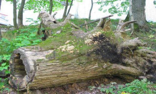 Zdjęcie BIAłORUś / Białoruś / Nowogródek / byłem drzewem....