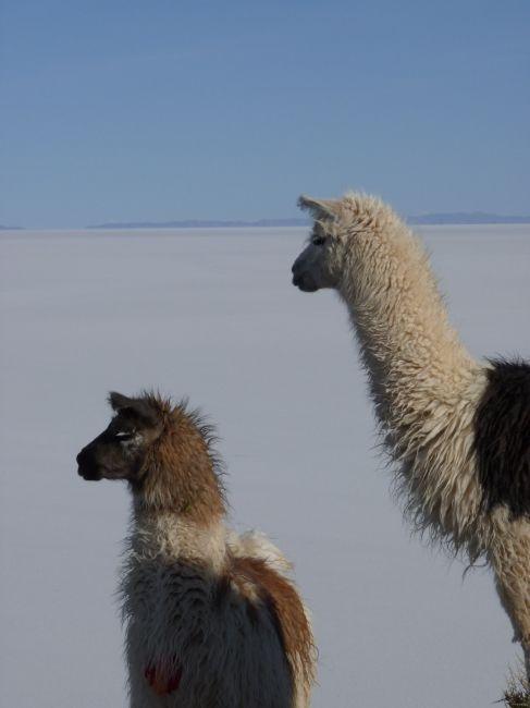Zdjęcia: uyuni, Uyuni, Boliwijskie lamy, BOLIWIA