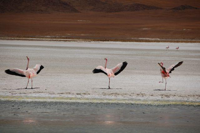 Zdjęcia: Uyuni, Taniec flamingów, BOLIWIA