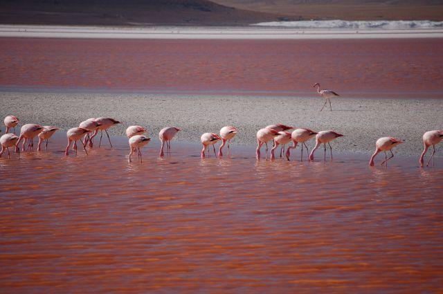 Zdjęcia: Okolice Uyuni przy granicy z Chile, Flamingi, BOLIWIA