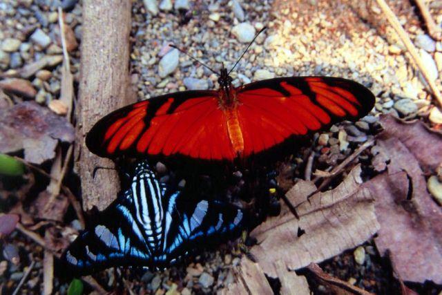 Zdj�cia: Mapiri, motyle, BOLIWIA