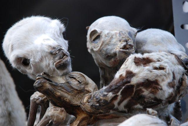 Zdj�cia: Boliwia, La Paz, Suszone p�ody lam na targu czarownic w La Paz, BOLIWIA