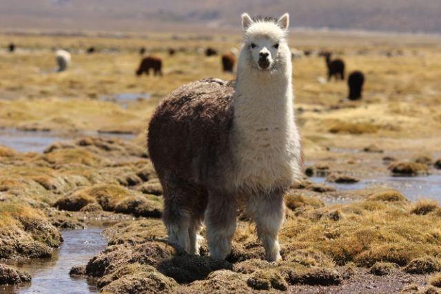 Zdjęcia: Zachodnia Boliwia, Alpaka, BOLIWIA