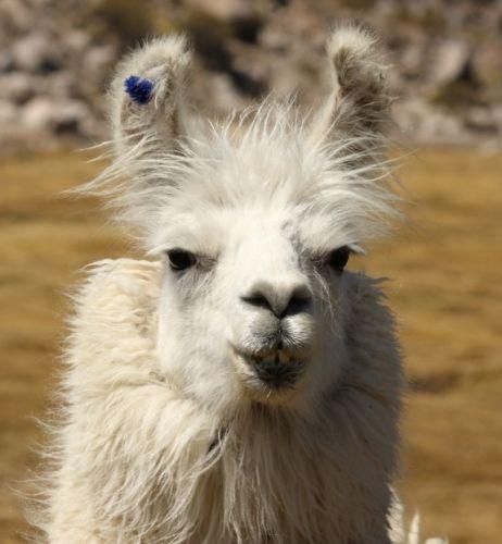 Zdjęcia: Zachodnia Boliwia, Lama, BOLIWIA