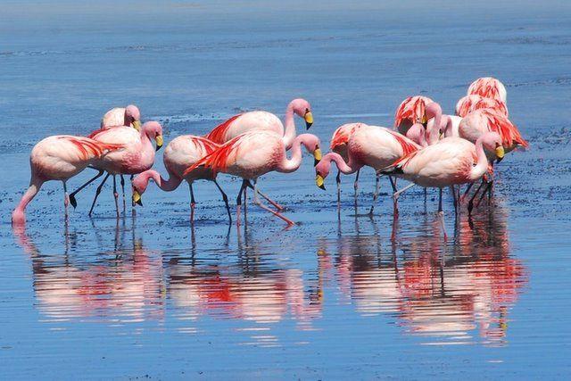 Zdjęcia: okolice Laguna Colorada, Salar de Uyuni, Flamingi , BOLIWIA