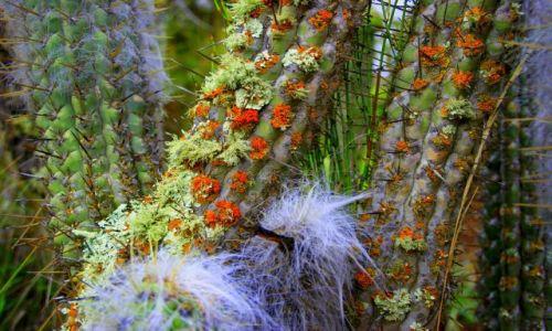 Zdjecie BOLIWIA / Okolice  La Paz / Okolice  La Paz / Kaktus