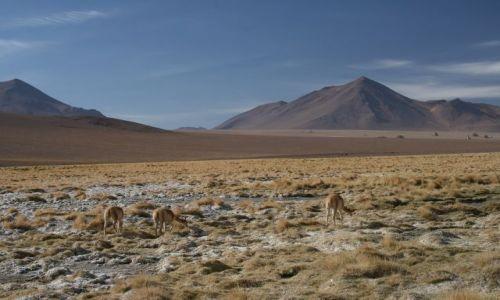 Zdjęcie BOLIWIA / Altiplano / okolice Solar Uyuni / Pasące sie Vikunie