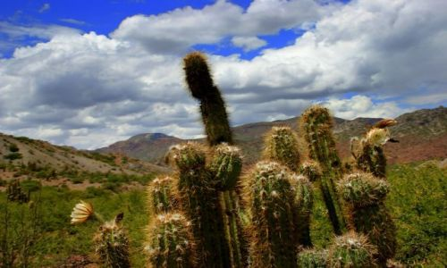 BOLIWIA / Tupiza / Tupiza / Kaktus