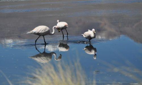 Zdjecie BOLIWIA / Altiplano / Laguna / Flamingii