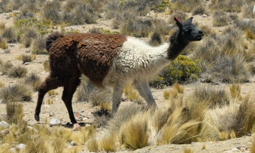 Zdjecie BOLIWIA / Altiplano / gdzieś w okolicy Uyuni / Lama tricolor
