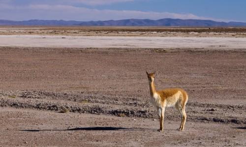 BOLIWIA / Altiplano / okolice Salar de Uyuni / Wikunia, najszlachetniejsza z kopytnych
