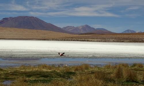 Zdjęcie BOLIWIA / Altiplano / Laguna Hedionda / Samotnik