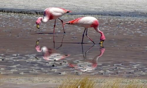 Zdjecie BOLIWIA / Altiplano-Potosi / Laguna Colorada / Pokolorowane
