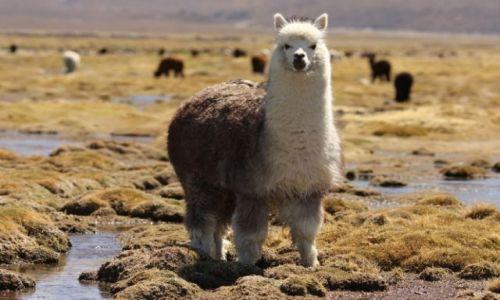 Zdjęcie BOLIWIA / brak / Zachodnia Boliwia / Alpaka