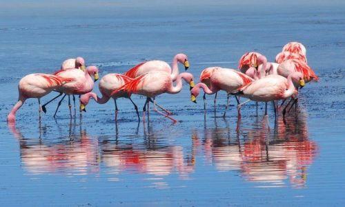 Zdjecie BOLIWIA / Salar de Uyuni / okolice Laguna Colorada / Flamingi