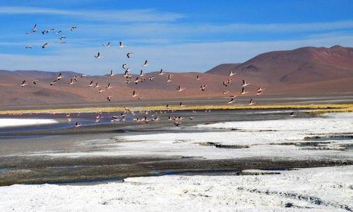 Zdjęcie BOLIWIA / Salar de Uyuni / Laguna Colorada / Flamingi w locie