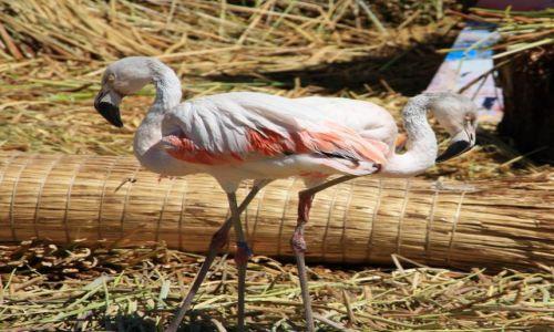 Zdjęcie BOLIWIA / Granica Peru/Boliwia / Jezioro Tititaca / syjamskie flamingi???