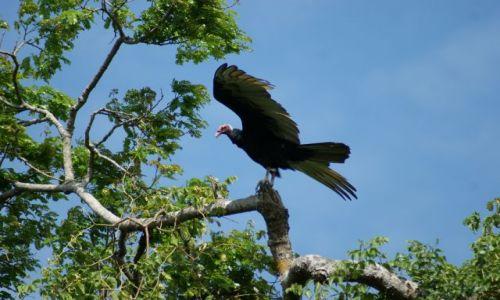 Zdjęcie BOLIWIA / Gdzieś / w Amazoni / Sęp czekający na padlinę