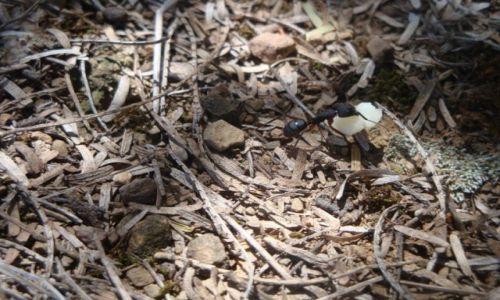 Zdjecie BOLIWIA / - / - / big mrówka
