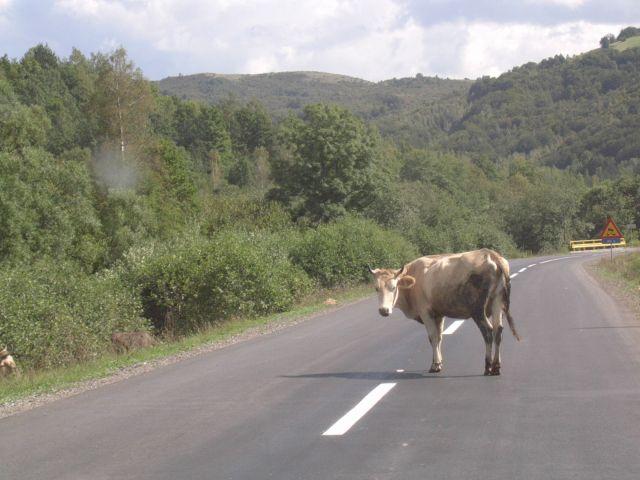Zdjęcia: Między Sarajewem a Mostarem, Bośnia, Krowa na drodze, BOśNIA