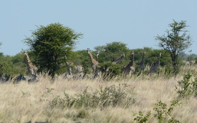 Zdjęcia: okolice Kasane, Stadko przy drodze, BOTSWANA