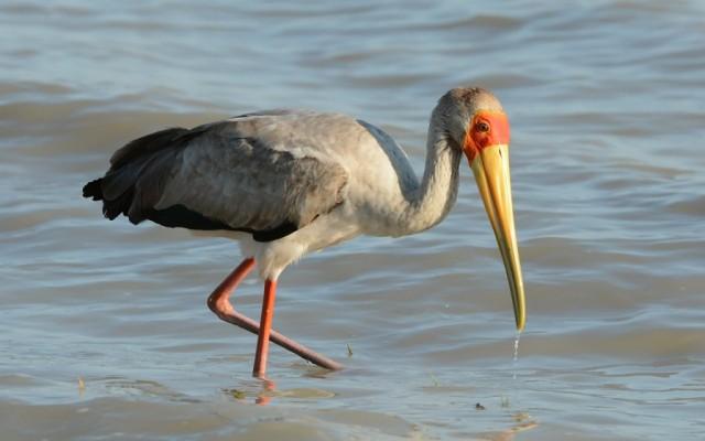 Zdjęcia: Rezerwat Ptaków Nata, Dławigad Afrykański, BOTSWANA